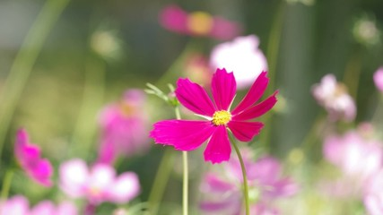Footage of cosmos flowers blown by wind in the garden
