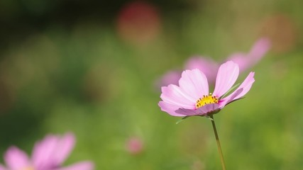 Footage of pink cosmos flowers blown by wind in the garden