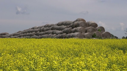 old straw bales stack on yellow summer rapeseed field