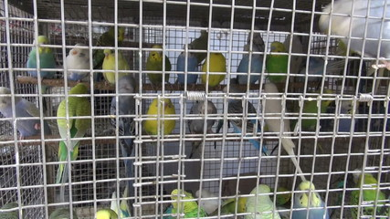 Cage with many multicolored budgerigars in Mumbai market