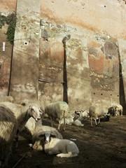 Pecore al Parco della Caffarella