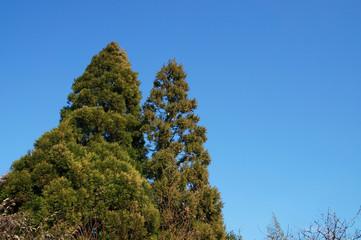 伸びる杉の木