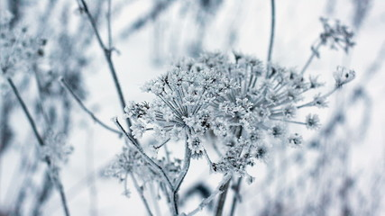 Cow parsnip, winter image