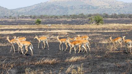 Impala walking on burned land
