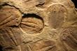 Leinwanddruck Bild - fossil trilobite imprint in the sediment.