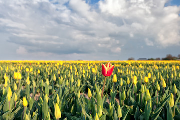 red tulip among yellow tulips on field