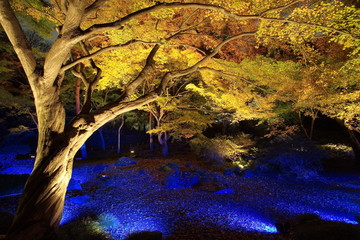 Big tree and yellow leaf with light up at night
