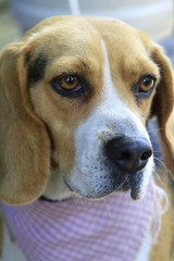 Beagle female dog with a bandana