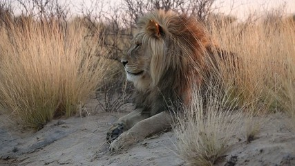 Big male African lion, Kalahari desert