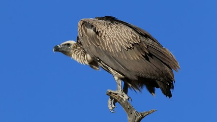 A white-backed vulture (Gyps africanus)