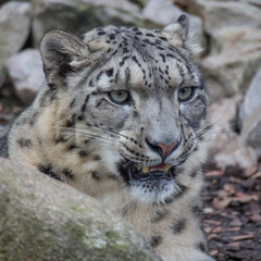 Snow Leopard on the watch