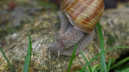 Garden snail creeps on a rock towards the camera