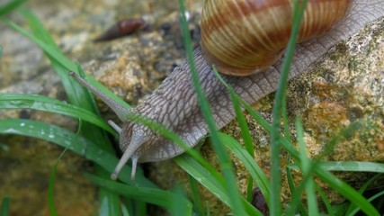 Garden snail is crawling between green grass - pan shot
