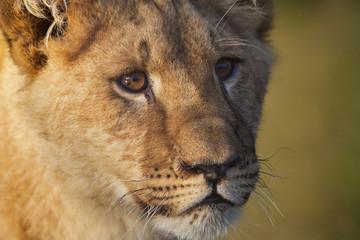 Portret van een jonge leeuwin.