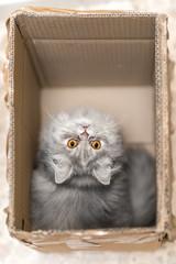 Gatto persiano nella scatola di cartone