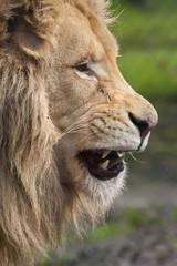Leeuw gromt