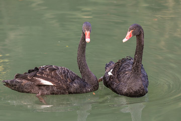 black swans in the green water