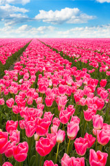 Pink tulips field view during sunny summer day