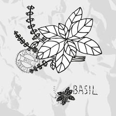 hand drawn basil