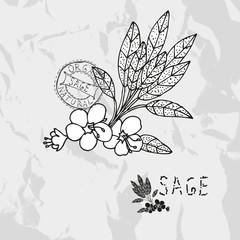 hand drawn sage