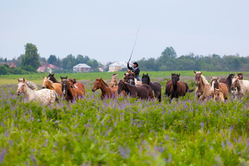 cowboy on a skewbald horse drives herd of horses