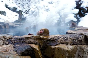 Posing Snow Monkey Baby