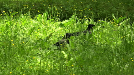 Crow in the grass. 4K.