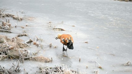 Ruddy shelduck walking on a frozen pond being fed with bread