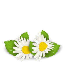 Camomile flowers with shadows on white background