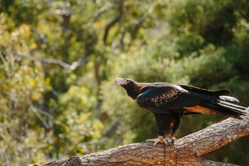 Eagle at Currumbin Wildlife Park, Qld, Australia