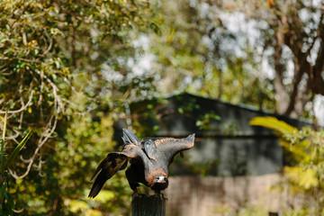 Eagle in flight at Currumbin Wildlife Park, Qld, Australia