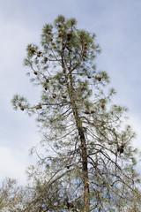 Scraggily Pine Tree Laden With Pine Cones