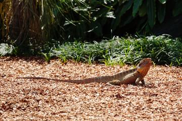 Lizard at Currumbin Wildlife Park, Qld, Australia
