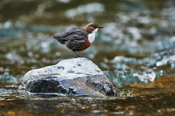 European dipper on a rock