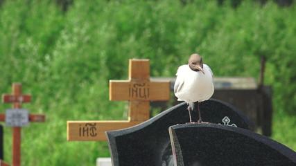 Birds, gulls in the cemetery. 4K.