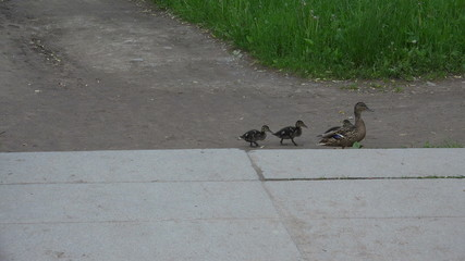 A mother duck and ducklings cross the road. 4K.