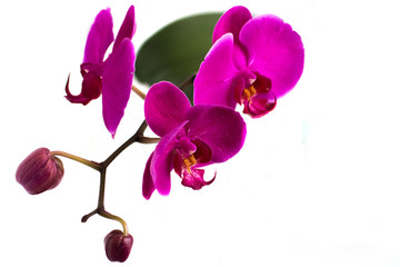The orchid blossoms