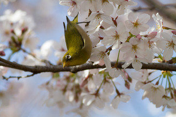 桜の花とメジロ
