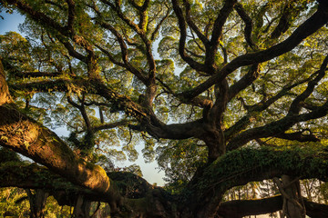 Ancient banyan canopy
