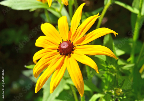 canvas print picture Beautiful yellow rudbeckia flower in the flowerbed
