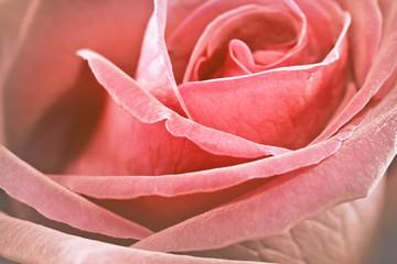 Close up vintage rose background