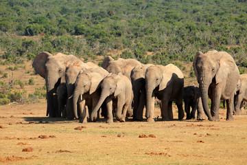 African elephant herd, Addo Elephant National Park