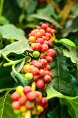 coffee bean on a branch,coffee tree