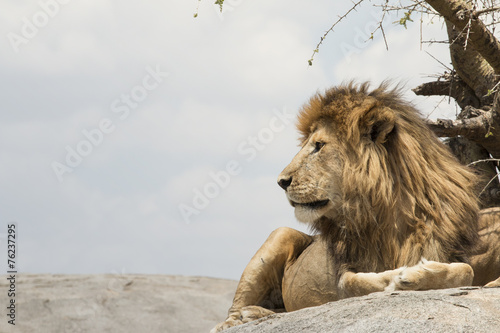Canvas Afrika Male lion sitting on a rock facing sideways