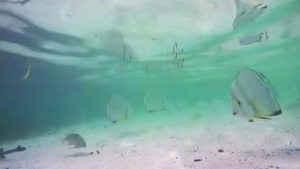 Batfish swimming close to sandy bottom in Seychelles