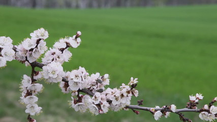 cherry blossoms in front of a field of winter wheat and the lake