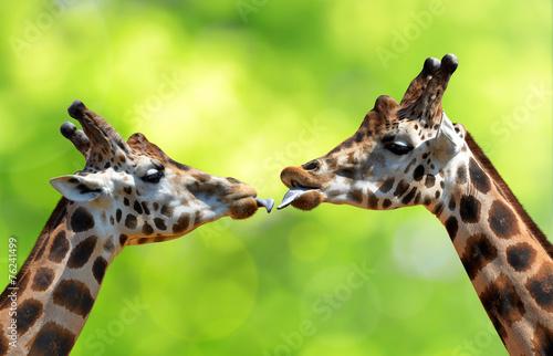 Papiers peints Afrique Portrait of a kissing giraffes