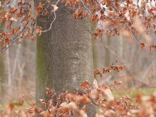 Buchenbaum im Herbstkleid