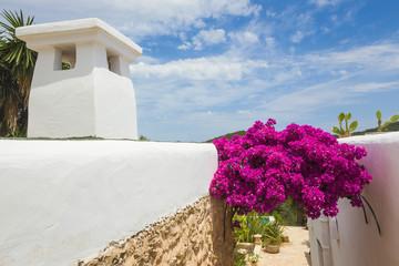 blooming bougainvillea in Ibiza
