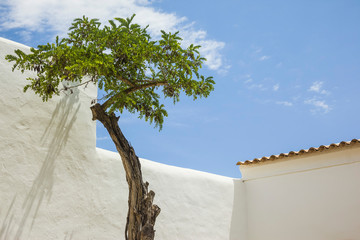 The acacia tree on the island of Ibiza